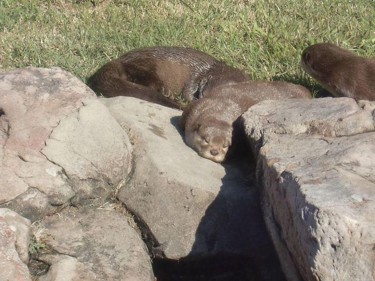 Otter Snoozing