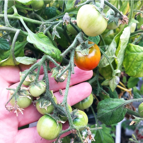 Homegrown tumbling tomatoes